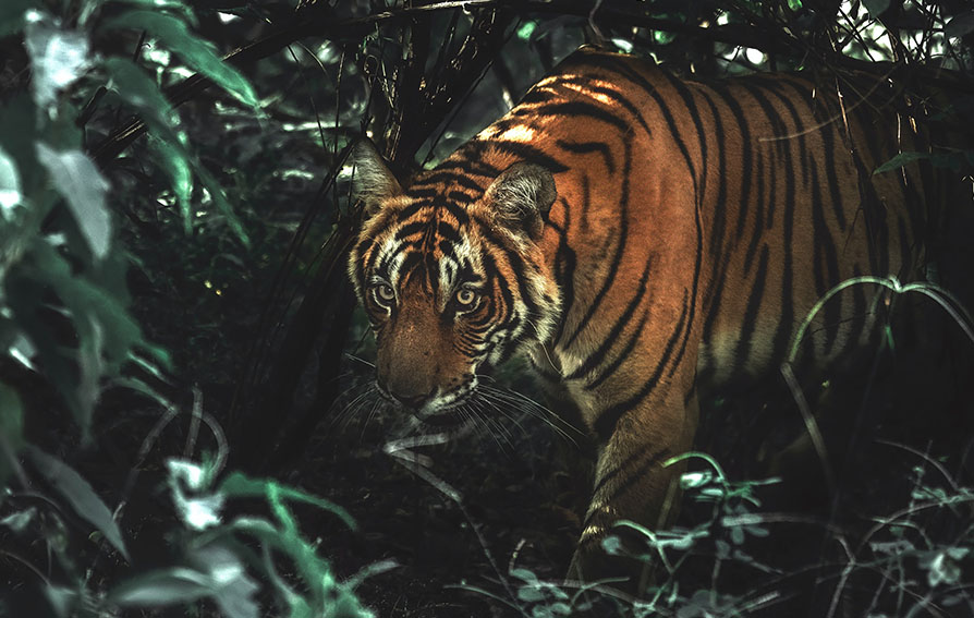 Tiger in the forest, dappled light