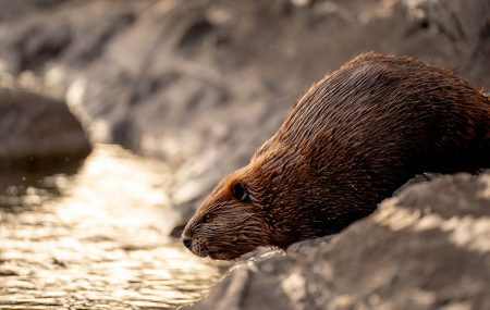 A beaver about to enter a river