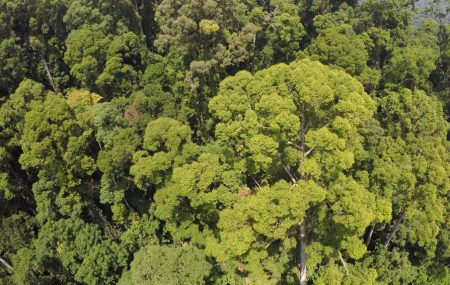 World's tallest tree from the canopy