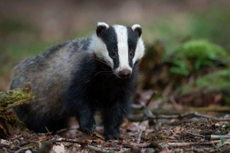 Close up shot of a badger