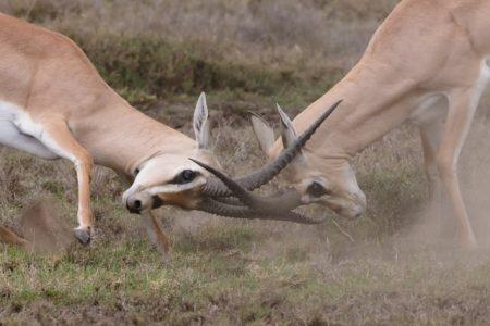 Two fighting antelope