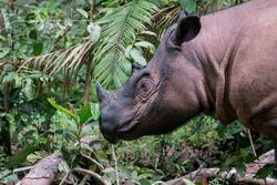 head and shoulders of a Sumatran Rhino in jungle